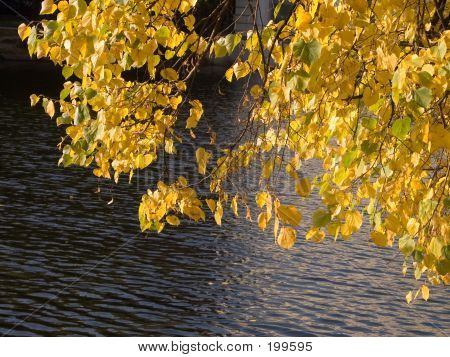 Yellow Leaves Near Pond