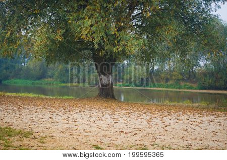 Autumn landscape. A solitary tree on the shore of a river in autumn.Misty morning on the beach of a river in autumn.