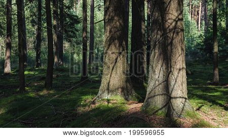 FOREST - Sunny afternoon in the coniferous forest