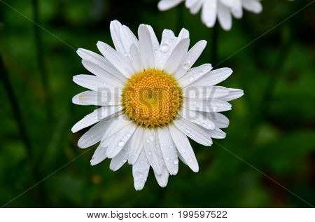 A daisy flower is covered with raindrops.