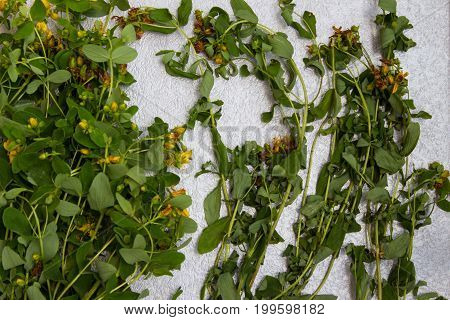 Fresh St. John's wort for drying Medical herb on a neutral gray background.