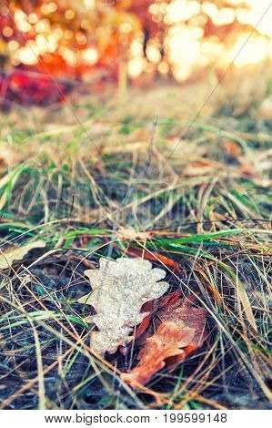 Fallen Colorful Maple Leaves Lying On The Grass