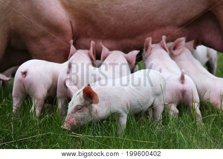 Little pigs breast-feeding closeup at animal farm rural scene summertime