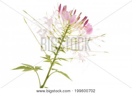 Single flower pink Cleome isolated over white background