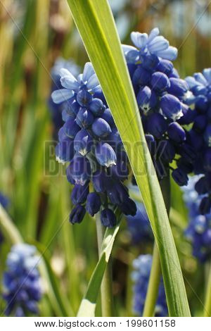 Blue Purple Muscari Armeniacum Viola. Many Muscari Blue Flowers In Green. Spring Muscari Hyacinth Fl