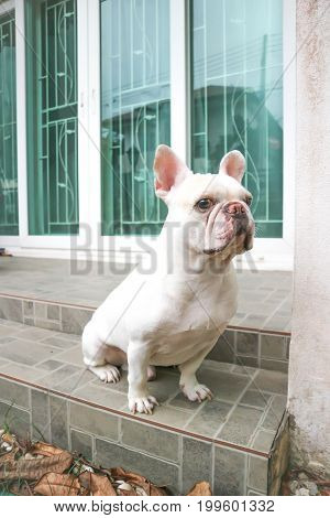 sitting French bulldog or unaware dog on the floor
