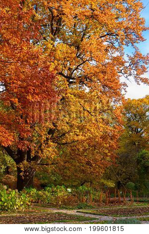 Vibrant fall yellow and orange oak tree foliage