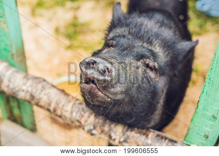 Little Black Pigs Stand On A Wooden Fence On A Farm
