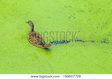 Mallard Duck Feeding On Duck Weed In A Green Overgrown Pond