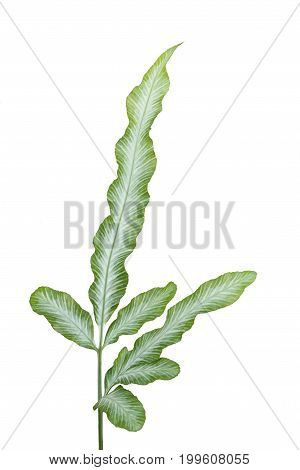 Victorian Fern isolated on the white background