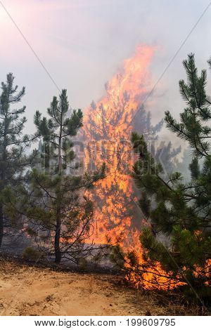 Wind blowing on a flaming trees during a forest fire.
