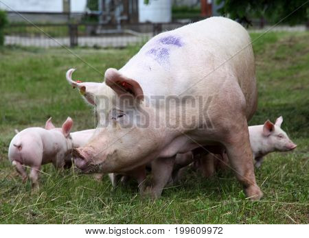 Piglets suckling from fertile sow on summer pasture
