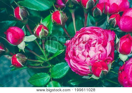 Bouquet of centifolia rose with foliage. Natural flower. Soft focus. Copy space. Free place for text. One blossoming red rose. Open rose for card.