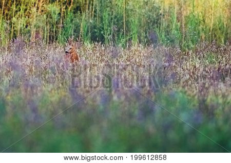 Roe Deer Buck In Field With Wild Flowers Looking Aside.