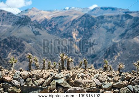 Cactuses with long thorns on the fence and mountains on the background with shallow depth of field in Colca canyon Peru