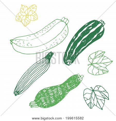 Seasonal autumn vegetables. Hand drawn vector set. Zucchini