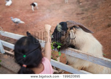 Young Goats in the White paddock, outdoor farm in Thailand.
