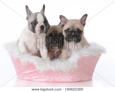 three french bulldog puppies in a dog bed on white background