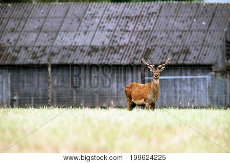 Red Deer Stag With Antlers In Velvet At Deer Farm.