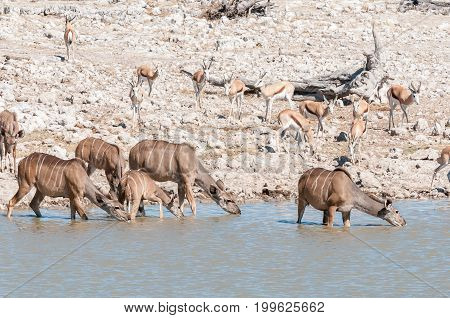 Greater kudu cows and calves Tragelaphus strepsiceros drinking water in a waterhole in Northern Namibia