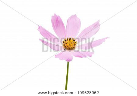 Pink flower cosmea on a white background