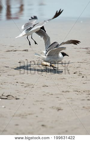 View of Seagull on the beach flying fighting over food