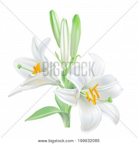 Madonna Lily - Lilium candidum.  Hand drawn vector illustration of white lily - symbol of purity and innocence - on transparent background, realistic style.
