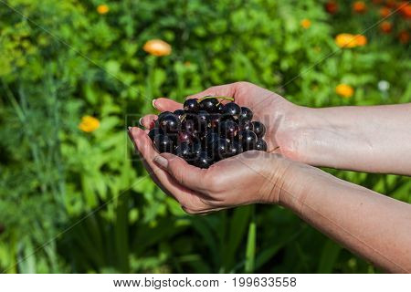 A handful of black currant. Hands stretch the currant. Fresh ripe black berries from a bed.