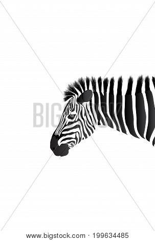 African Zebra isolated on white. Head of Zebra on white background.
