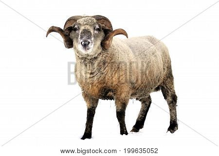 Ram, a male of sheep, isolated on a white background