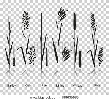 Cereals plants set. Carbohydrates sources. Silhouette icons with reflection on transparent background. Vector illustration.