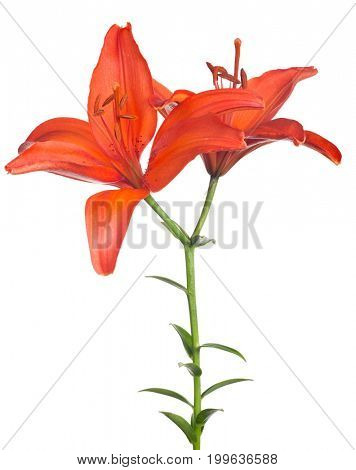 red lily flower isolated on white background