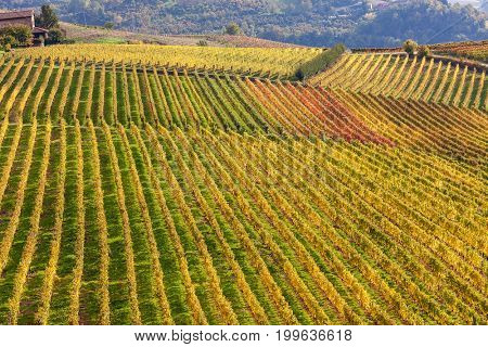 Rows of colorful vineyards on the hills of Piedmont at autumn in Italy.