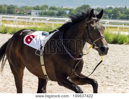 PYATIGORSK,RUSSIA - AUGUST13,2017:A horse that lost a jockey in the race for the prize of the river Volgi in Pyatigorsk - the oldest and the largest racecourses in Russia.