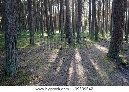 Landscape with pine trees on a Sunny day the rays penetrate through the crown of the trees lighting the land from the roots of pine trees and grass