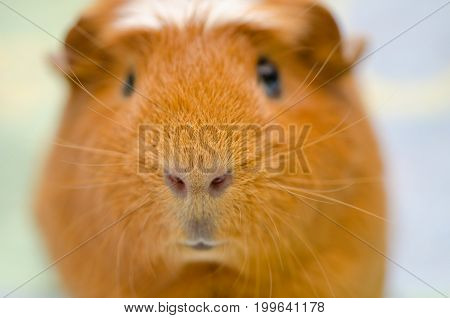 Portrait of a cute little guinea pig against a bright background (selective focus on the guinea pig nose)