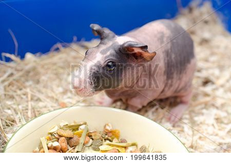 Cute skinny guinea pig baby near a bowl with food in a cage