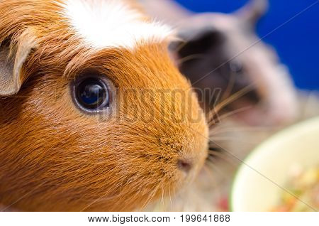 Portrait of a cute American crested guinea pig with a skinny guinea pig in the background