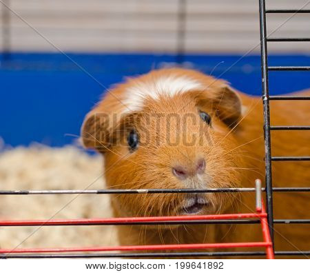Funny curious guinea pig looking out of a cage (selective focus on the guinea pig eyes)