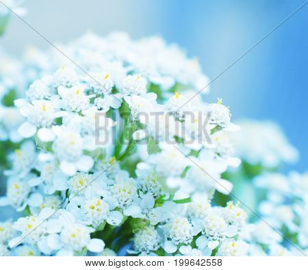 Macro shot of out-of-focus blurred silhouettes of white flowers in the evening light in blue tones (very shallow DOF selective focus)