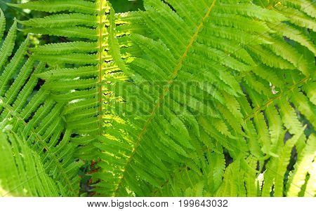 Green fern leaves for beautiful nature background