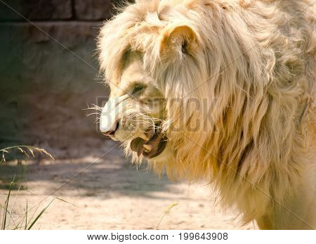 Fierce male African lion growling and showing its teeth