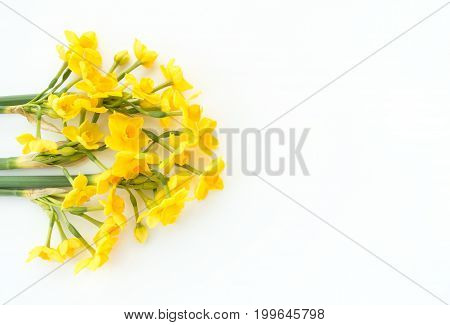 Closeup of beautiful Paperwhite Narcissus Soleil Dor on white background.