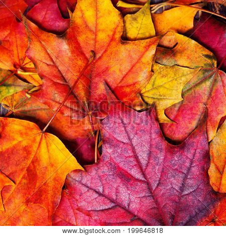 Autumn maple leaves background. Beautiful colourful maple leaves