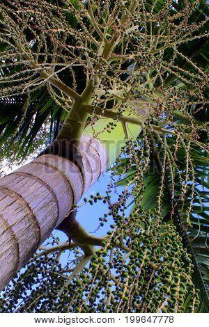 Coqueiro tropical ao natural com frutos e folhas