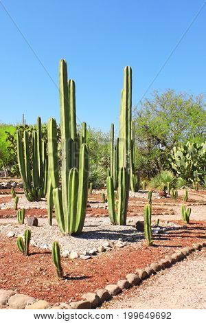 Garden of cacti and succulents near to famous archaeological site Tula de Allende, Hidalgo state, Mexico, North America