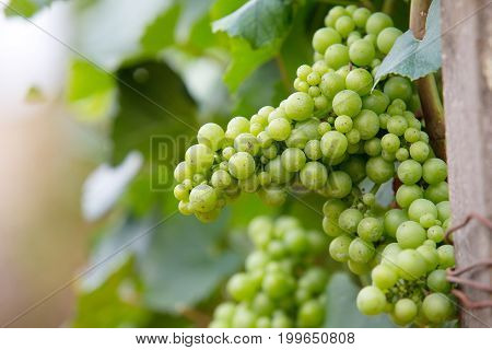 Grapes on a bush fresh green background space for text