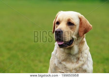 The dog breed Labrador sits on a green grass