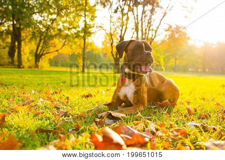 A boxer dog relaxing the the autumn sun in the forest.