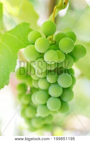 A bunch of green grapes on a bush winemaking making white wine